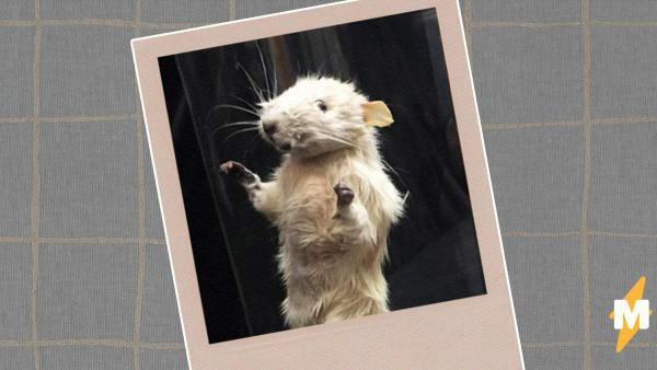Таксидермистка скрестила крысу с сороконожкой и лишила людей сна. Ведь такому монстру место только в кошмарах