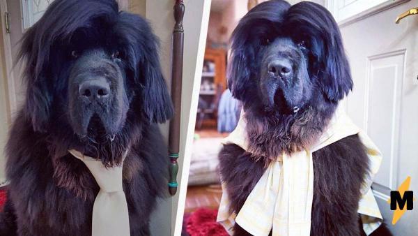 Пёс с роскошной шевелюрой стал косплей-моделью и звездой инстаграма. Спасибо приунывшей на карантине хозяйке