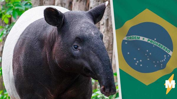 Впервые за столетие в дикой природе родился тапир. Целый вид оказалось возможно спасти простым семечком