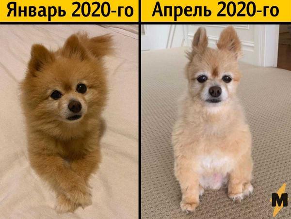 """Девушка сама подстригла пса, и ему не позавидуешь. Вместо красивой стрижки вышел фейл и мем """"Я в 2020 году"""""""