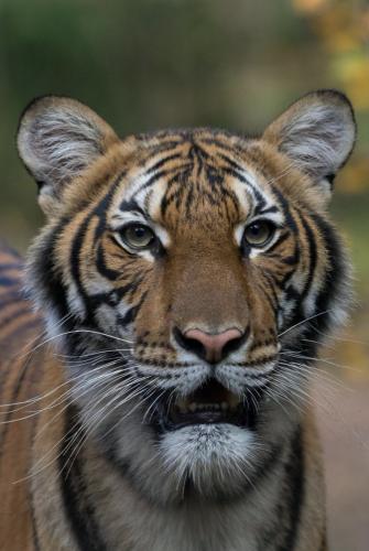 Коронавирусом впервые заразилась тигрица. А у её сородичей и трёх львов тревожные симптомы