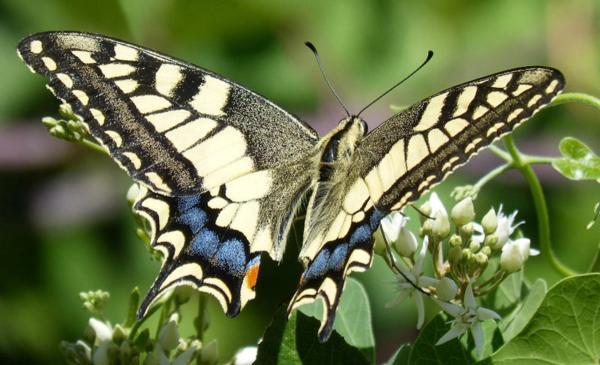 Художник создал оптическую иллюзию с бабочкой. Вместо насекомого - раздетая модель, но увидеть её непросто