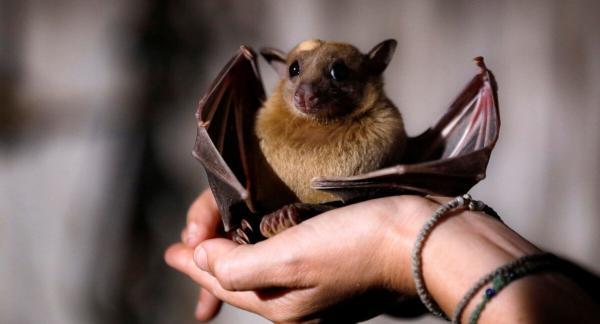 Исследователи нашли шесть новых коронавирусов у летучих мышей. Опасны ли они для человека, ещё надо выяснить