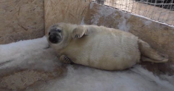 Впервые в истории в неволе родился серый тюлень. И история страсти его родителей достойна экранизации