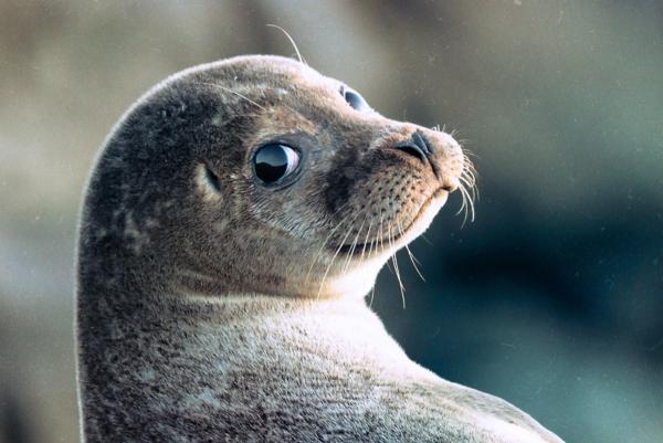 К мужчине на участок забрёл тюлень. Но позже выяснилось, что он приютил не морского льва, а настоящую собачку