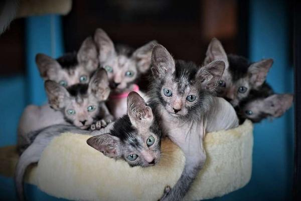 Женщина разводит оборотней и влюблена в них. Это редкая порода котов, которые выглядят, как ночные чудовища