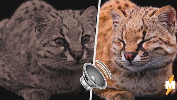 Самая крошечная дикая кошка подала голос, и люди в восхищении. Это настоящий робокот, но звери откликаются