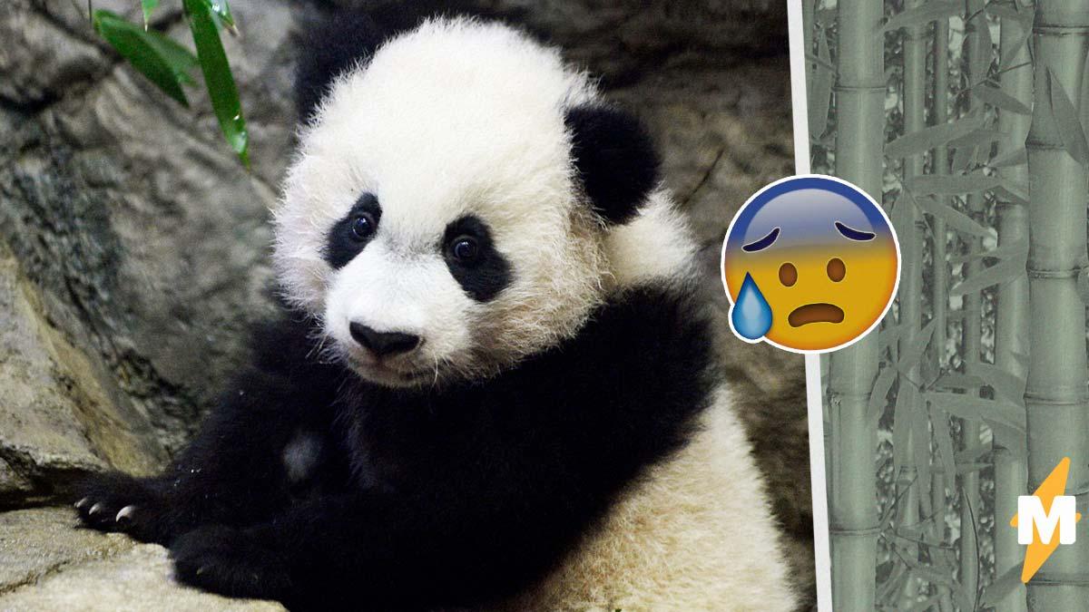 То ли крыса, то ли свинья. Люди увидели новорожденную панду и гадают, как такое могло родиться у медведя