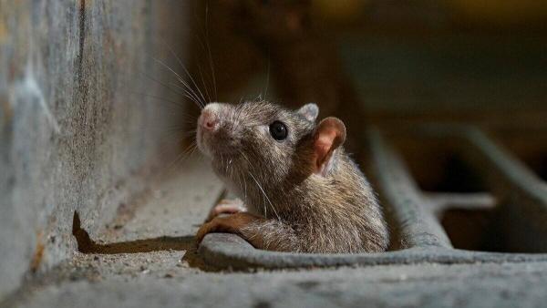 """Крысы в США сошли с ума из-за COVID-19 и занялись каннибализмом. На этот раз природа странно """"очистилась"""""""