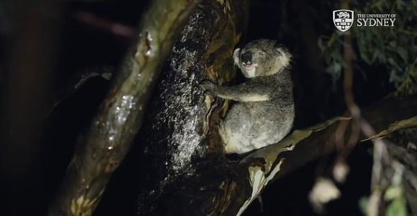 Никто не знал, как коалы пьют воду, но теперь учёные это выяснили. Понадобилось лишь одно случайное видео