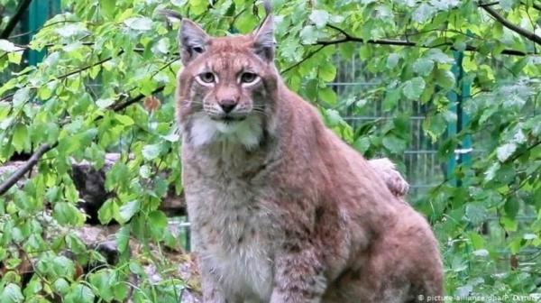 Самая толстая в мире рысь ушла в кошачий рай из-за болезни. Но в Сети будет жить вечно как мем про одиночек