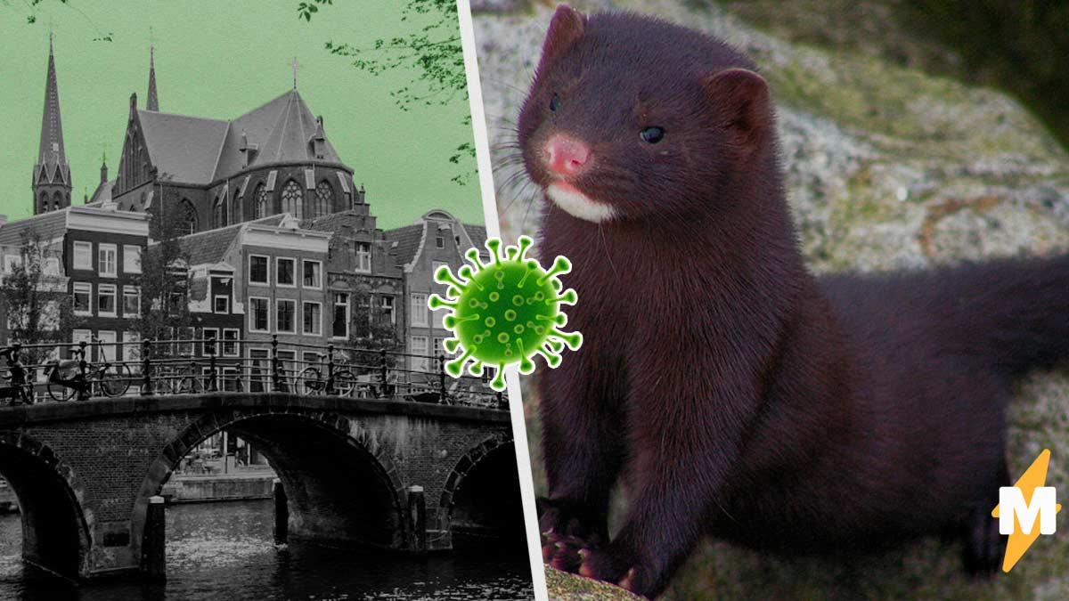 Нидерландец подхватил COVID-19 от животного. Но теперь разносчицей стала уже не летучая мышь, как в Ухане