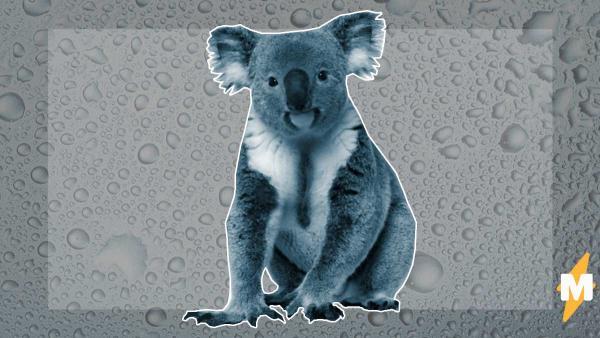 Никто не знал, как коалы пьют воду, но учёные наконец выяснили. Их видео доказывает – эти звери точно не с Земли