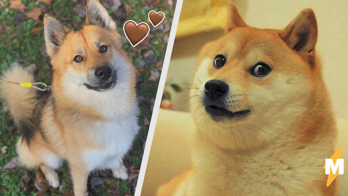 Хозяин сфоткал пса и подарил соцсетям нового Доге. Мем-безумие с собаками заслужило отдельной страницы в Сети