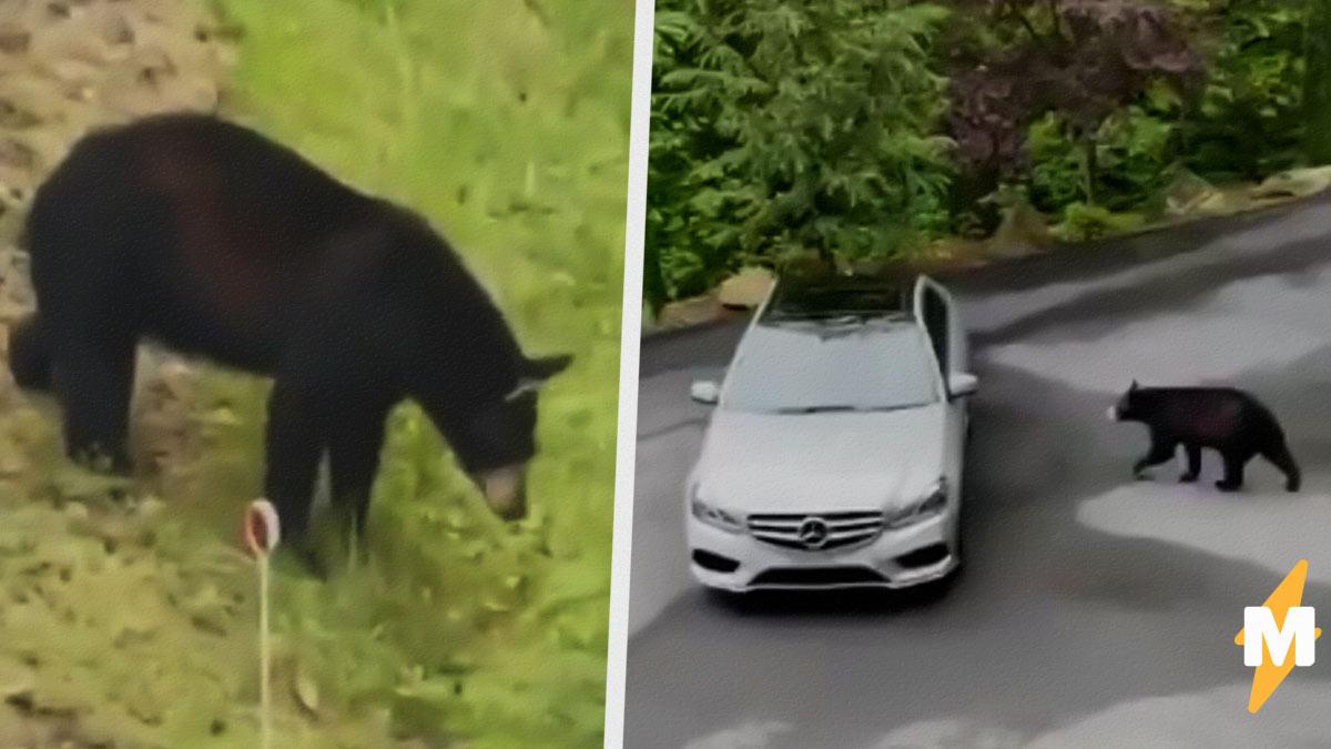 Медведь попытался украсть автомобиль, но что-то пошло не так. Гонщиком мохнатый не стал, зато попал в мемы