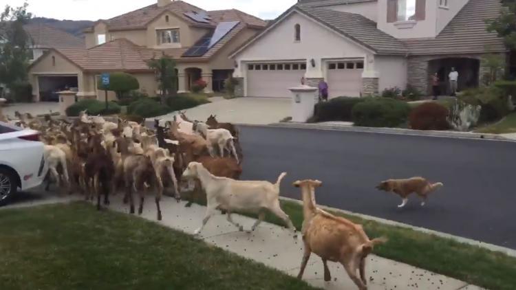 Две сотни коз попытались захватить город. Их остановили, но легендами и примером для других они стали быстрее
