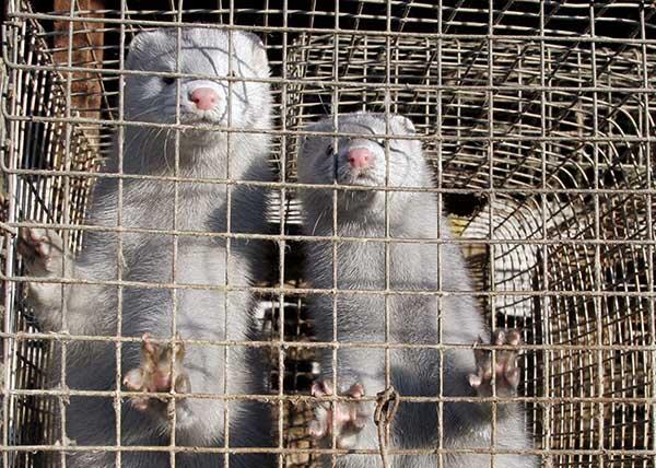 Нидерландец подхватил COVID-19 от животного. Такой случай был только в Ухане – но теперь виновата не летучая мышь