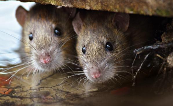 Крысы-каннибалы захватили улицы США из-за COVID-19. Теперь люди истерически смеются над 2020 годом