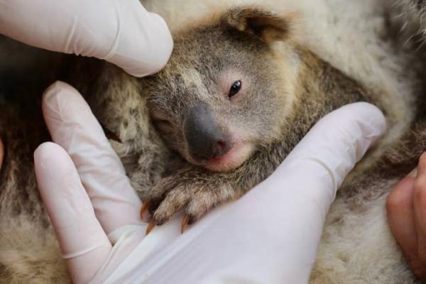 В Австралии впервые после пожаров родилась коала. И на эту крошку с милых фото уже возложена важная миссия
