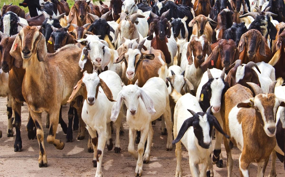 Две сотни коз попытались захватить каратинный город. Но легендами и примером для других они стали быстрее