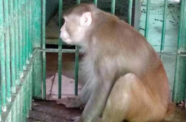 Алкоголик озверел без выпивки и побил 250 человек. А теперь будет жить в зоопарке, потому что он - обезьяна
