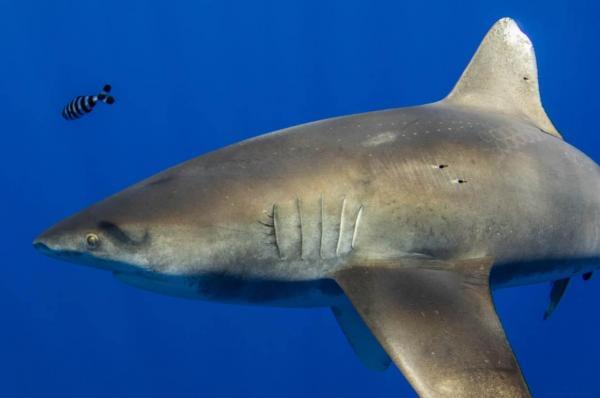 Дайвер сделал фото акулы, и людям страшно. Но не от вида хищника, а за него - он сражался с реальным Кракеном