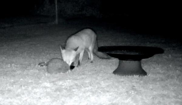 Мужчина установил в саду камеру и удивился, когда просмотрел её записи. Он узнал секрет диких животных