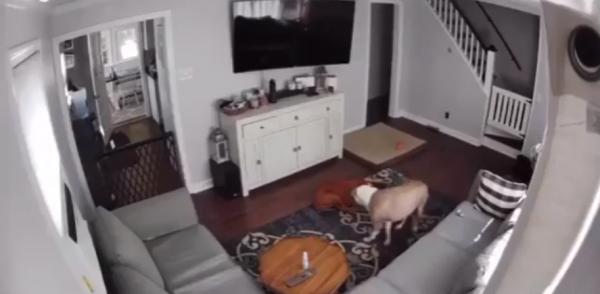 Женщина установила дома камеру, чтобы следить за своими пёсиками.