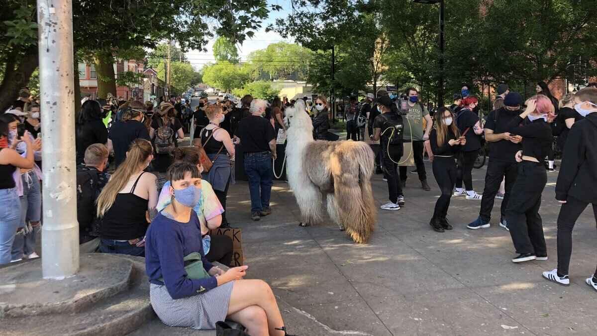 Белая лама по кличке Цезарь вышел на протесты в США. Животное митингует на улице, но зоозащитники против