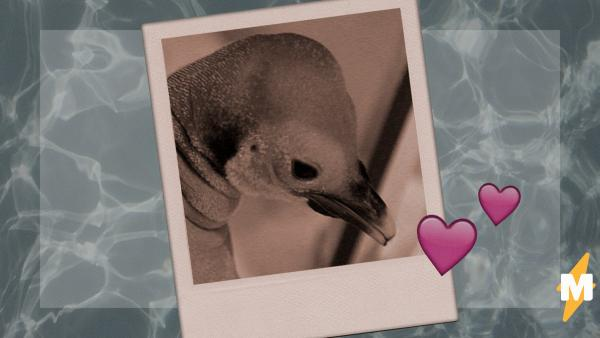 Пингвинёнок родился лысым и (ненадолго) потерял семью. Но спустя годы обрёл славу в мемах и любовь двуногих