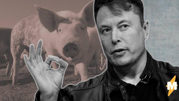 Автомобиль Tesla оказался любителем природы и сам спас свинку. Но Илон Маск заверил: именно этому его и учили