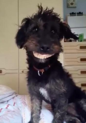 Собака нашла зубные протезы и довела хозяйку до слёз. Она превратилась в монстра из кошмаров, только смешного