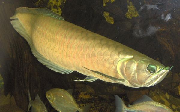 Сын купил красивую рыбку в аквариум, но зря показал её бате. Мужчина решил - из неё получится вкусный ужин