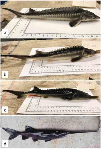 Учёные спасали от вымирания две породы рыб и случайно создали франкенштейнов. Теперь спасать нужно четыре вида