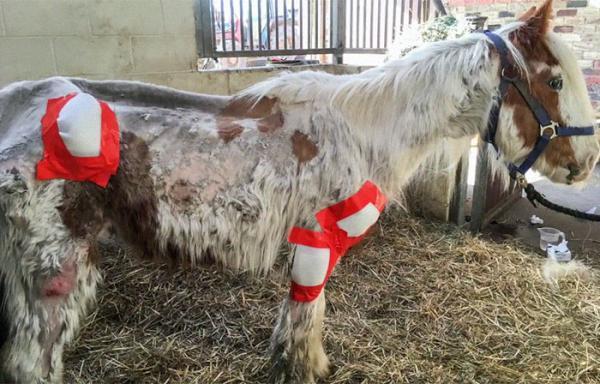Лошадь бросили умирать, но она попала в добрые руки. Грамотный уход сделал чудо -