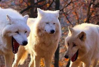 Волки зевнули и попали в мемы. Именно так выглядит шаблон с Рейнольдсом и компанией в звериной версии