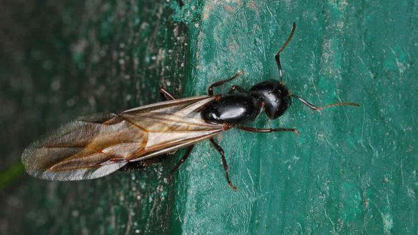 Крылатые муравьи атаковали Великобританию. И рои настолько велики, что видны на метеорологической карте