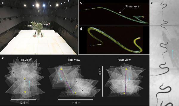 Почему летают змеи и по воздуху ползут? Эксперимент над необычными ужами показал, как рептилии попали в небо