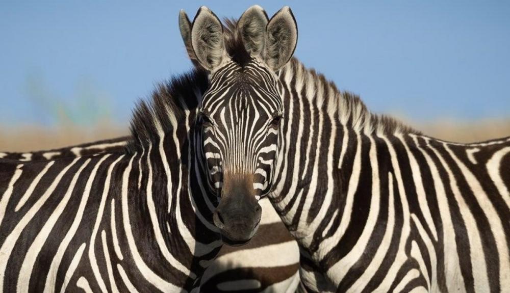 Люди не могут определить, какая из двух зебр смотрит в камеру. И это обман зрения, а зебр возможно даже не две