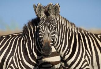 Люди не могут определить, какая из двух зебр смотрит в камеру. И это обман зрения, а героев, возможно, не двое