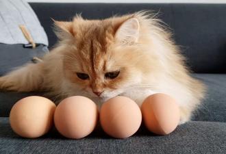 Кошатницы дают пушистым яйцо и умиляются от действий кис. Но магия работает не на всех четвероногих