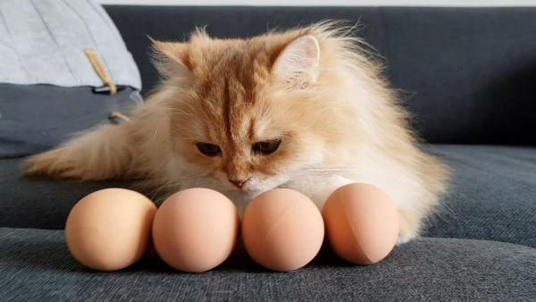 Кошатницы дают кисам яйцо и умиляются от реакции пушистых. Но не все хвостатые показали себя паиньками