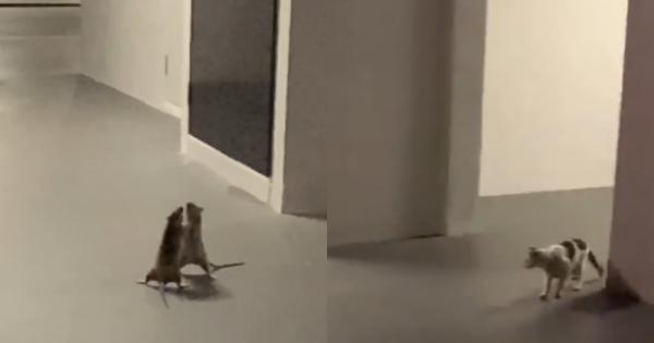 Сингапурские крысы устроили эпичную битву, и даже кот побоялся оказаться меж двух огней. Он ожидал победителя