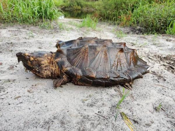 Огромная черепаха попалась биологам, и люди вздрогнули. Один кусь - и можно прощаться не только с пальцами