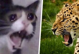 Кто кого, гепард или домашний котик? В чём бы они ни состязались, выиграет первый, особенно в мурлыканье