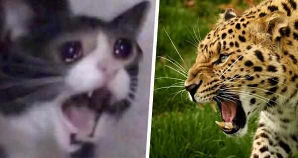 Кто кого, гепард или домашний котик? В чём бы они не состязались, выиграет первый, особенно в мурч