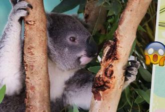 Люди увидели отпечатки коалы и стали планировать ограбление. С таким пособником можно смело выносить банк