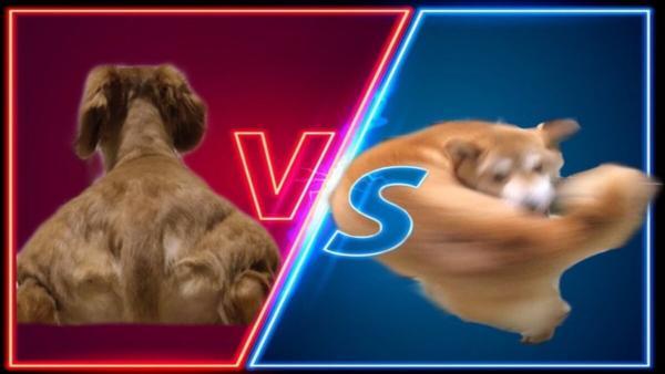 В Сети нашли соперника Мачо-пса – накачанную таксу. Теперь собакен – мем про бойца, лицо которого не увидеть