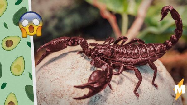 Люди увидели, как ест скорпион и решили, что нашли Чужого.