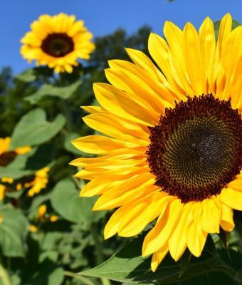 Эксперты показали, как надо есть семена подсолнуха, и открыли людям новый мир. Всю жизнь мы делали это неверно